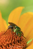 Some kind of green bee