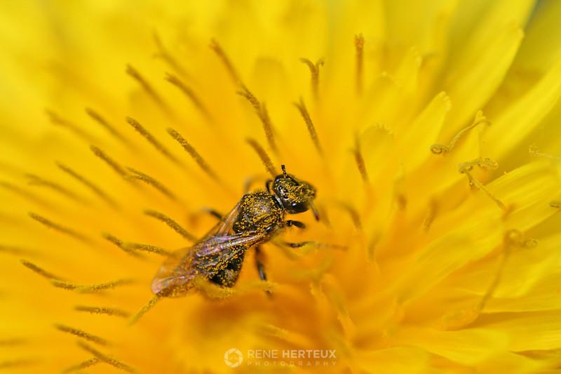 Ant like bug in dandelion
