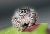 Jumping spider<br /> (He was about the size of an apple seed)