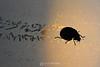 Ladybug tracks