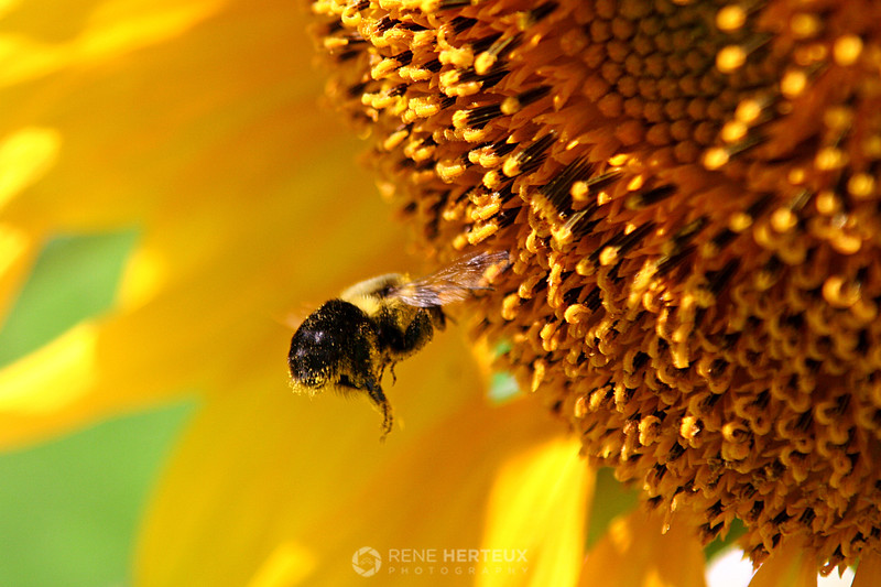 Bumble bee approaching sunflower