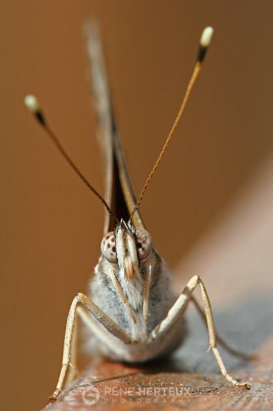 Butterfly head-on