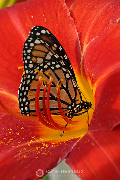 Monarch in lily