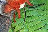 Cecropia moth on fern