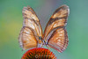 2 butterflies make 1