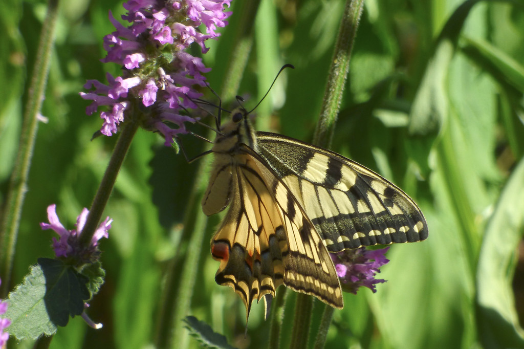 Papilio machaon - Stachys officinalis
