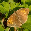 Maniola jurtina | Bruin zandoogje - Meadow brown
