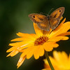 Pyronia tithonus | Calendula officinalis