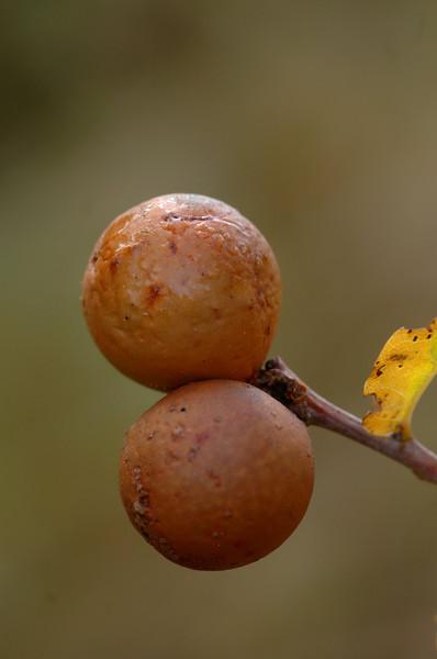 Andricus kollari | Knikkergal - Oak marble gall