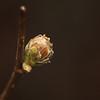 Phytoptus avellanae | Hazelaarrondknopmijt - Hazelnut gall mite