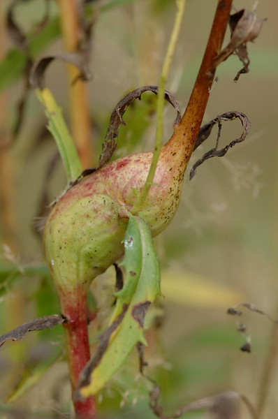 Aulacidea hieracii