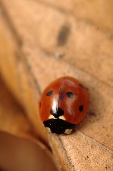 Coccinella septempunctata - Zevenstippig lieveheersbeestje