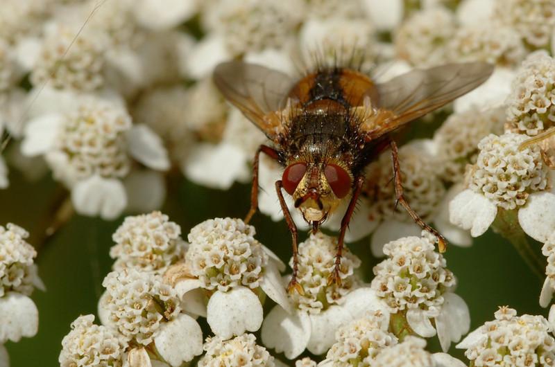 Tachina fera | Woeste sluipvlieg - Tachinic fly