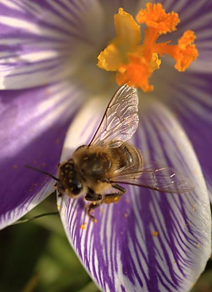 Apis mellifera | Eruopese Honingbij - Western Honey bee
