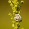 Tenthredo scrophulariae | Helmkruidbladwesp - Figwort sawfly