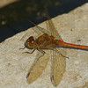 Sympetrum striolatum -  Bruinrode heidelibel, Common Darter