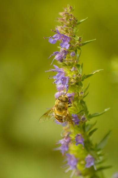 Hyssopus officinalis | Hyssop
