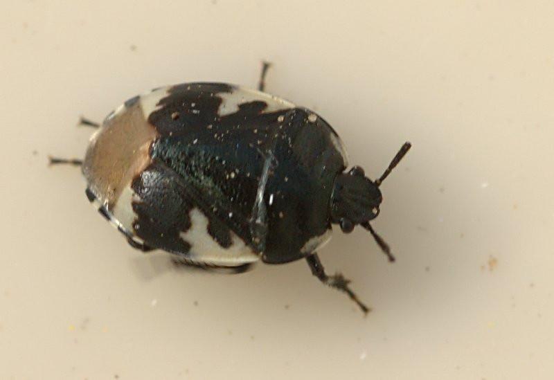 Tritomegas bicolor | Dovenetelwants - Pied shieldbug