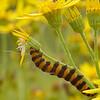 Tyria jacobaeae | Sint-Jacobsvlinder - Cinnabar moth