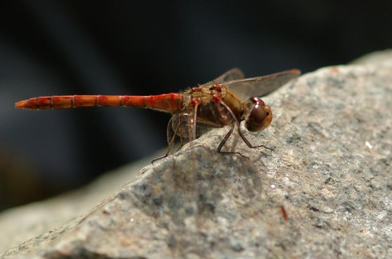 Sympetrum striolatum | Bruinrode heidelibel - Common darter