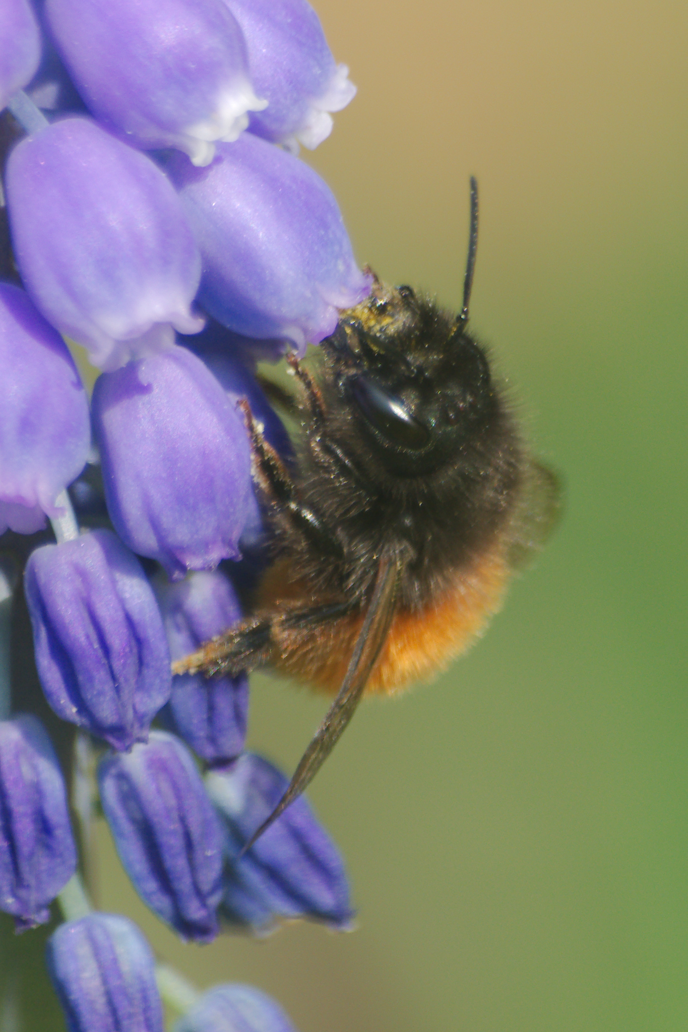 Osmia cornuta - European orchard bee ♀