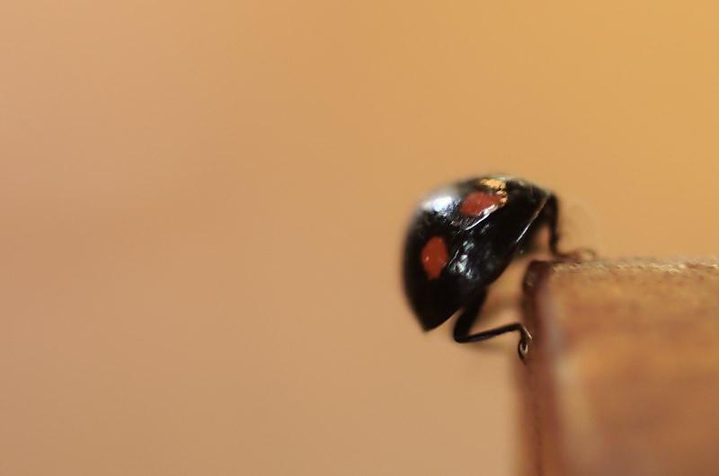 Harmonia axyridis f. spectabilis