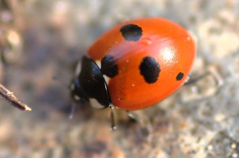 Coccinella quiquepunctata | Vijfstippelig lieveheersbeestje - Five-spot ladybird