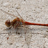Sympetrum striatum | bruinrode heidelibel - common darter