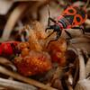 Pyrrhocoris apterus | Vuurwants - Fire bug