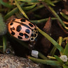 Oenopia conglobata | Vloeivleklieveheersbeestje