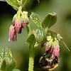 Symphytum officinale | Gewone smeerwortel - Comfrey