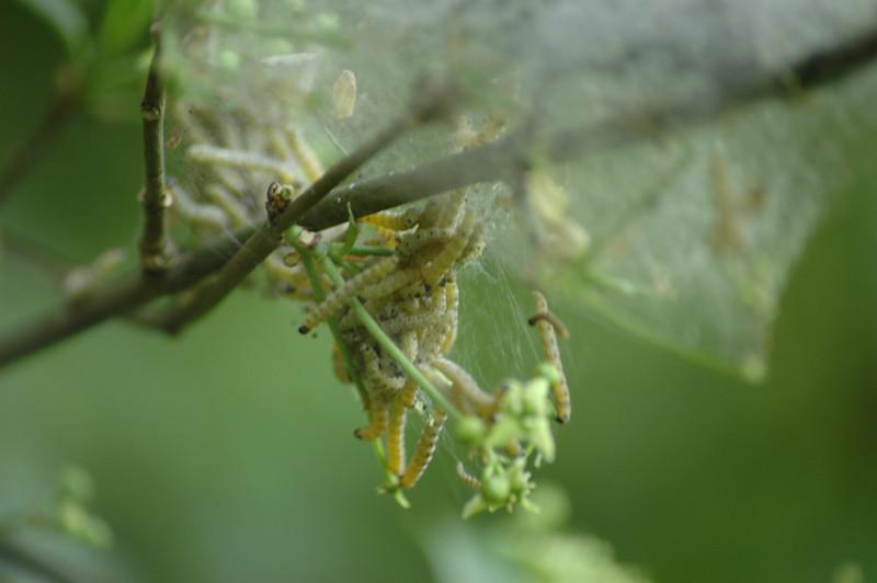 Yponomeuta padellus - spinselmot/stippelmot