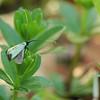 Adela reaumurella<br /> Galium odoratum | Lievevrouwebedstro - Sweet woodruff