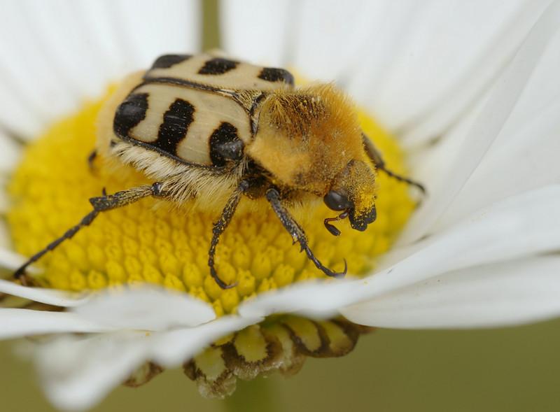 Penseelkever - Trichius zonatus
