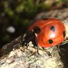 Coccinella septempunctata | zevenstippelig lieveheersbeestje - seven-spotted ladybird