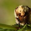 Phalera bucephala | Wapendrager - Buff tip