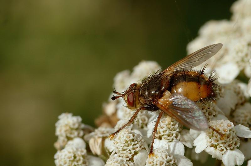Tachina fera   Woeste sluipvlieg - Tachinid fly
