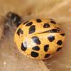 Psyllobora vigintiduopunctata | Citroenlieveheersbeestje - 22-spot ladybird