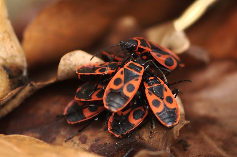 Pyrrhocoris apterus | Vuurwants - Firebug