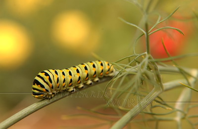 Eastern black swallowtail caterpillar on dill in our garden