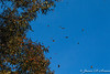 Monarch Butterflies-4