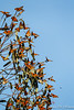 Monarch Butterflies-2