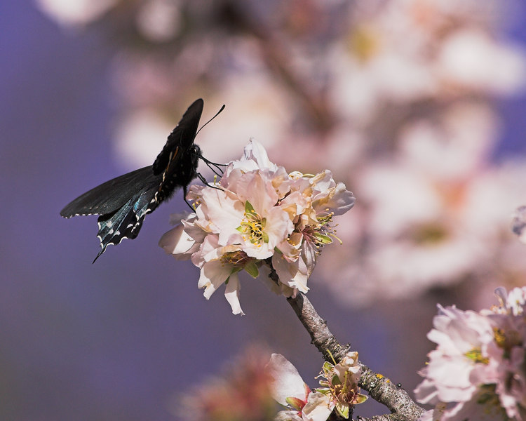 Pipevine Swallowtail, American River Parkway
