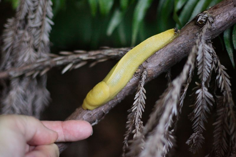 Banana Slug in Headwaters National Park