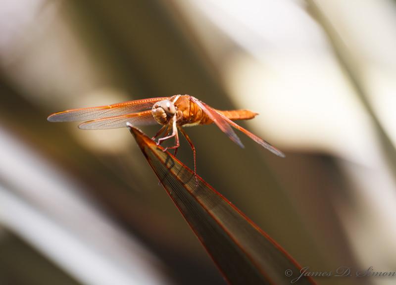 Orange-Red Dragonflies-6317