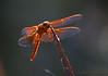 Orange-Red Dragonflies-6269