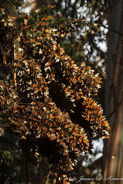 Monarch Butterflies-8