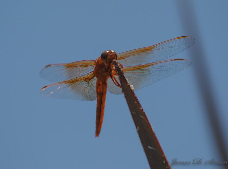 Orange-Red Dragonflies-6271