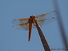 Orange-Red Dragonflies-6271