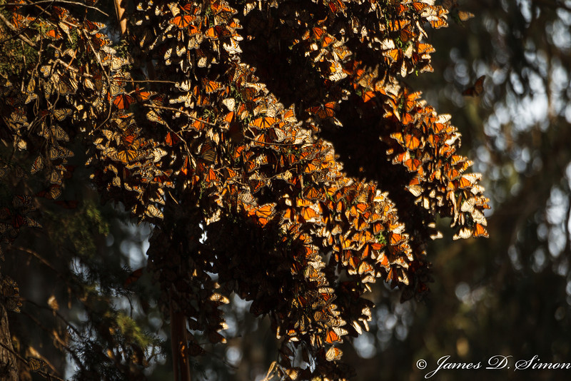 Monarch Butterflies-7